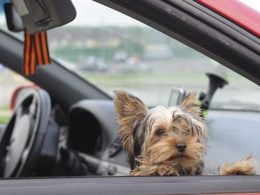 Puppy in car