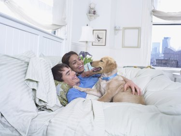Labrador Lying on a Duvet Next To a Couple in Bed