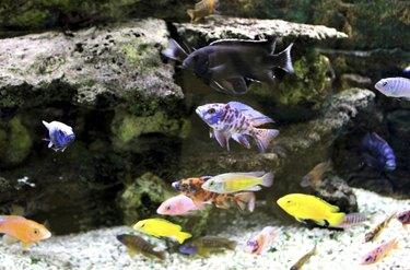 Malawi cichlid fish with bright colours in aquarium