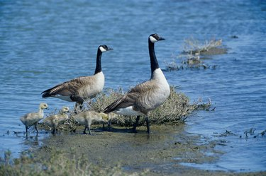 Canada Geese and their young
