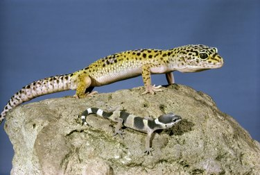 Side profile of two Leopard Geckos on a rock (Eublepharis macularius)