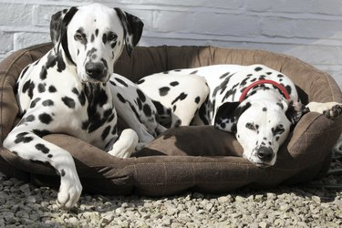 Two Dalmatians laying in bed.
