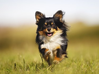Running long-haired Chihuahua