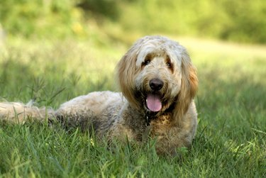 Golden Doodle Dog Lying in Grass