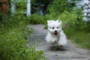 cute westie dog run fast like flying
