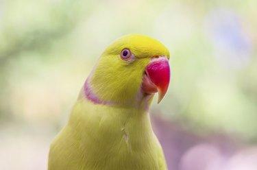 Indian ringneck parakeet, lutino mutation.