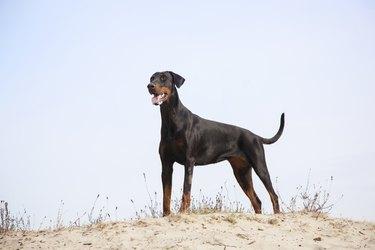 doberman standing in the sand