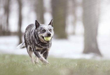 beautiful and comic australian cattle dog puppy running