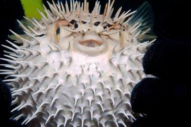 Juvenile balloonfish inflated