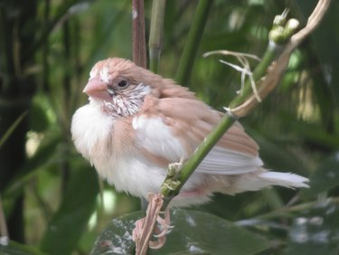 Fledgling Beige Bengalese Finch sat in Bamboo