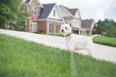 White dog waiting on a driveway in suburban neighborhood