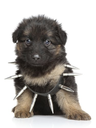 German shepherd puppy in dog collar