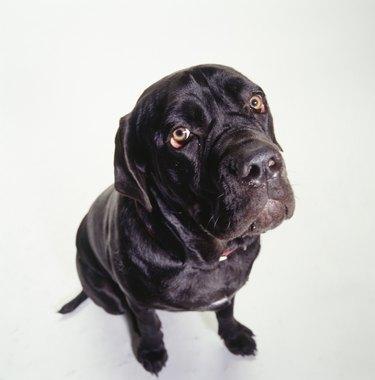 Dog, Mastiff, (Portrait)