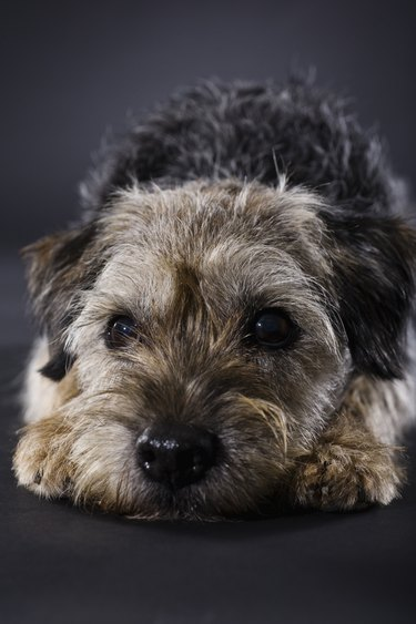 Disappointed Border Terrier