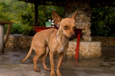 Portrait of chihuahua dog outdoors