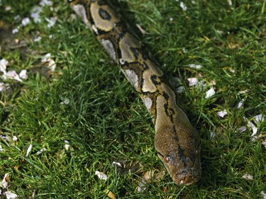 Captive reticulated python on lawn