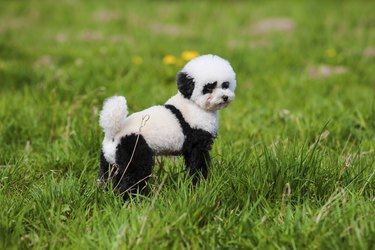 dog repainted on panda.  groomed dog. pet grooming.