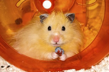Long haired Hamster in plastic wheel