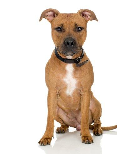 Studio portrait of American pit bull puppy