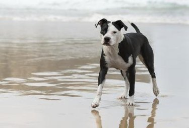 Brown and white pit bull-like dog running along the shore.