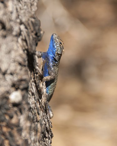 Western Fence Lizard with Blue Belly in Kings Canyon