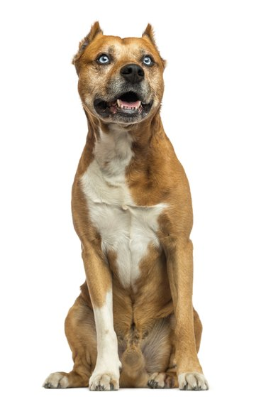 American Staffordshire Terrier sitting, panting, isolated