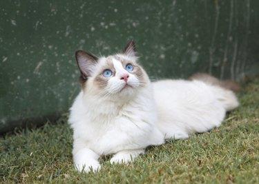 Ragdoll Kitten Watching the Sky