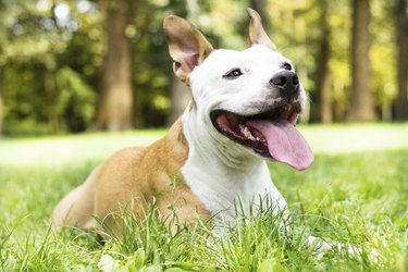 American Staffordshire terrier in the park