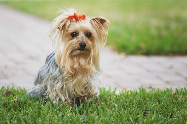 Yorkshire Terrier dog with red bow