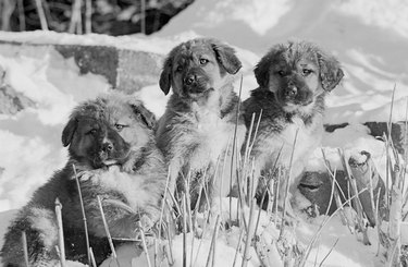 Three puppies in the snow