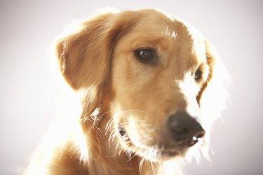 Dog looking away, close-up