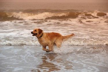 Dog running on surf at beach