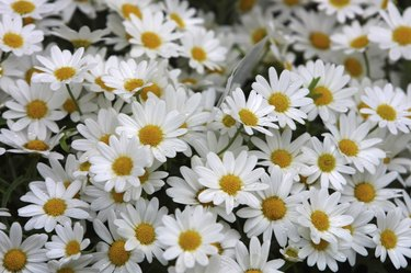 Blossoming bunch of daisies
