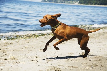 Dog running along shore