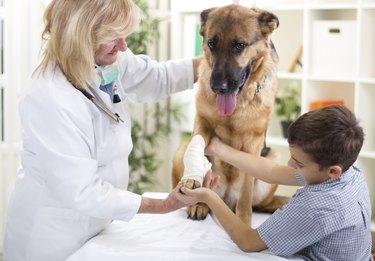 German Shepherd Dog getting bandage after injury on his leg