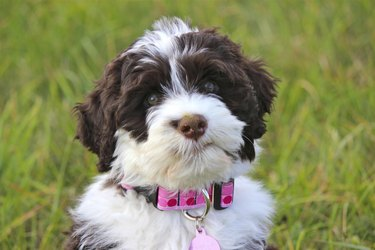 Portuguese Water Dog puppy with new Pink Collar