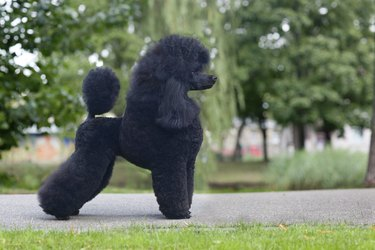 medium size poodle