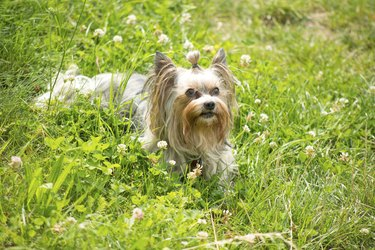 Female biewer yorkshire terrier lying in the grass