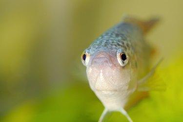 aquarium fish, closeup