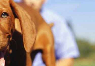 Vizsla puppy and man in park, close-up