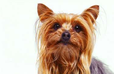 close-up of a Yorkshire terrier