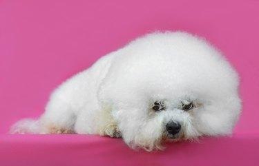 Young Bichon Frise dog