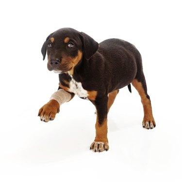 Rottweiler Puppy Injured Paw