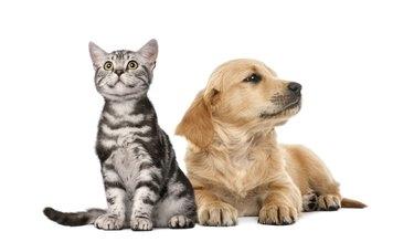 Golden retriever puppy lying next to British Shorthair kitten sitting