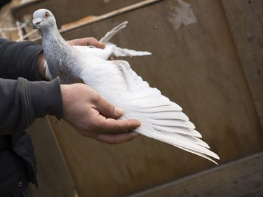 Pigeon in Hand