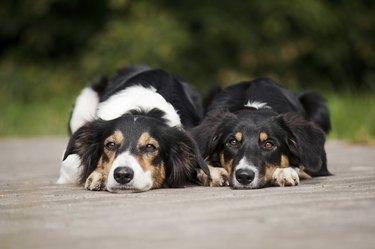 Two dog border collie portrait