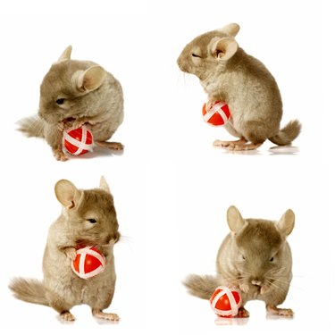 sequence shots of chinchilla holding ball