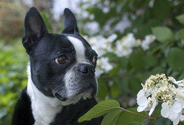 Boston Terrier in flowers