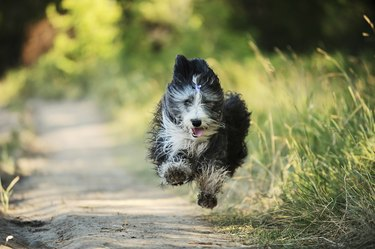 Bearded collie running on a dirt road