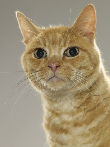 Ginger tabby cat, portrait, close-up